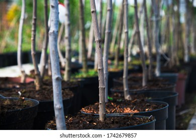 Plant nursery. Rows of young maple trees in plastic pots on plant nursery