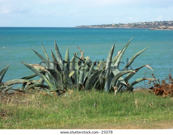 Zammarra's plant, on the background the Gulf of Sampieri sea (Sicily). Pianta di zammarra, sullo sfondo il mare del Golfo di Sampieri, Sicilia.