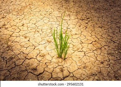 plant on cracked soil and dry in dry season