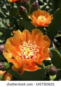 The plant of opuntia ficus indica featuring flower orange flowers. The botanical family of opuntia ficus indica is cactaceae.