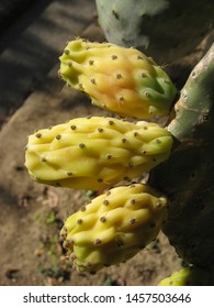 The plant of opuntia ficus indica featuring fruits yellow thorns. The botanical family of opuntia ficus indica is cactaceae.