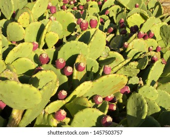 The plant of opuntia ficus indica featuring fruits. The botanical family of opuntia ficus indica is cactaceae.
