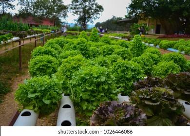 Plant organic hydroponics green vegetable