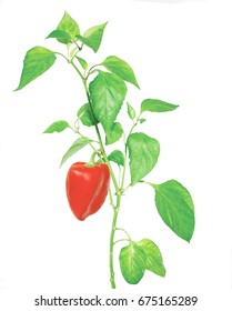 plant of paprika isolated on white