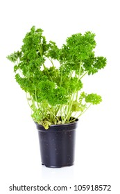 plant of parsley in pot over white background