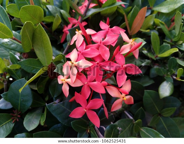plant with pink flowers in Puerto Rico
