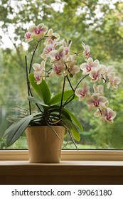 Plant pot with Moth Orchid in window with glassreflections and trees in background outdoors