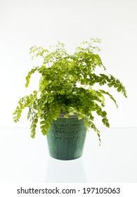 Plant in pot, studio shot