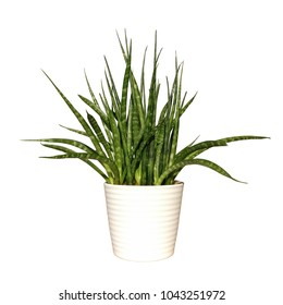 Plant potted plant isolated on white background. Office or home green plant