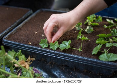 Plant propagation by cuttings with grower hands