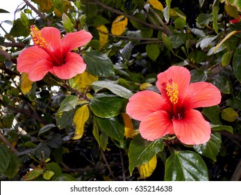 Plant with red flower called Hibiscus