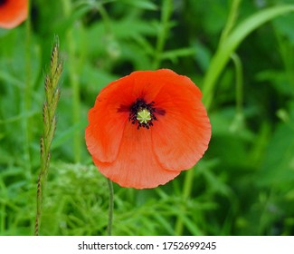 plant with red flowers called doubtful poppy growing on roads and squares in the city of Suwałki in the Podlasie region in Poland - Shutterstock ID 1752699245