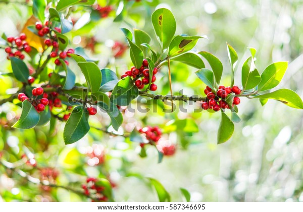 Plant with red fruits. Fresh background.