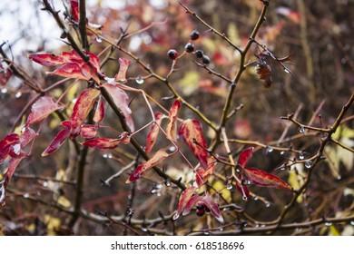 plant | red leaf
