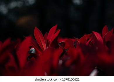 Plant with red leaves on a blurry background