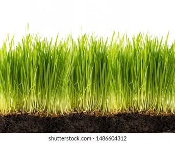 Plant rice seedlings before harvesting.
