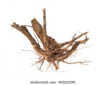 plant root isolated on white background