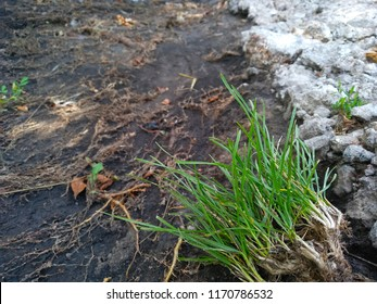 plant roots after rain.Perennial Ryegrass.Italian ryegrass.Lolium perenne