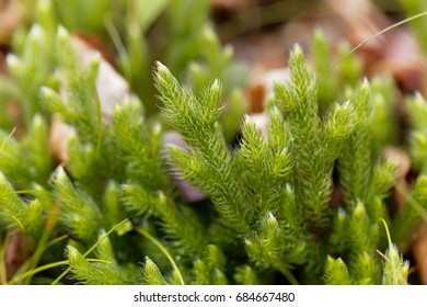 Plant of running clubmoss, Lycopodium clavatum, in a forest.