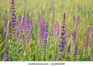 Plant Sage, beautiful background, color Glade violet