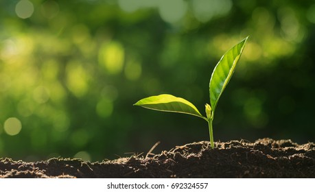 Plant seeding,Close up Young plant growing over green background and morning sunlight environment