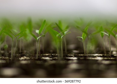 Plant seedlings growing on fertile soil with fertilizer / baby plant Seedlings sprout. Tomato seedlings sprout