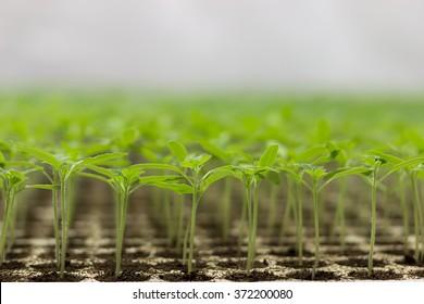 Plant seedlings growing on fertile soil with fertilizer / baby plant Seedlings sprout. Tomato seedlings Solanum lycopersicum CFL grow light HPS grow light