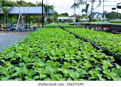 Plant seedlings growing   of organic vegetables