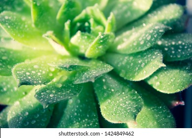 Plant Sempervivum tectorum  flower detail macro close up succulent with water drops and black background