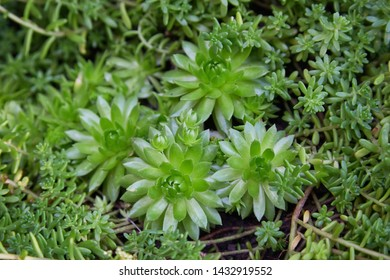 Plant Sempervivum tectorum flower.  Flowering sempervivum. (Sempervivum arachnoideum. Sempervivum tectorum) Great healthy plant for herbal medicine