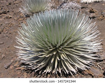 The plant of silversword featuring asteraceae. The botanical family of silversword is asteraceae.