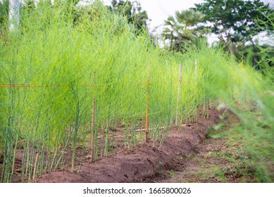 Plant with small green leaves of Edible Asparagus, Garden Asparagus or Asparagus Officinalis are growing in the field, Planting vegetables and agriculture in Thailand