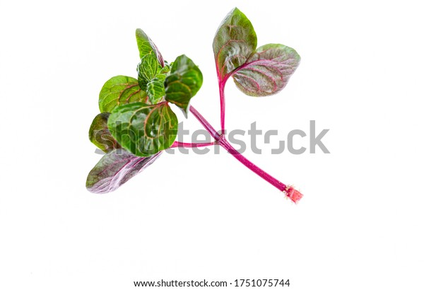 Plant with small rootlets. A new flower. Growing plants at home. New life. Red stems. Photo on a white background.