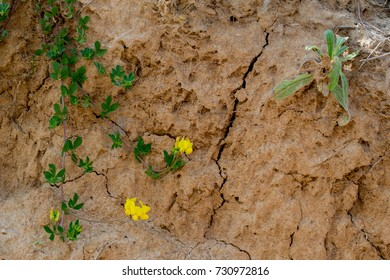 A plant with small yellow flowers on dry sandy land