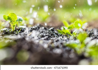 Plant sprouts in the field and rain is watering it;  pansy seedlings in the farmer's garden , agriculture, plant and life concept (soft focus, narrow depth of field)