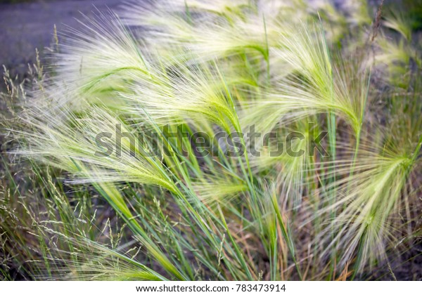 Plant Stipa grass closeup
