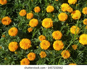The plant of tagetes featuring asteraceae. The botanical family of tagetes is asteraceae.