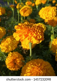 The plant of tagetes featuring asteraceae orange. The botanical family of tagetes is asteraceae.