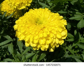 The plant of tagetes featuring asteraceae yellow gold. The botanical family of tagetes is asteraceae.
