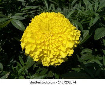 The plant of tagetes featuring asteraceae yellow. The botanical family of tagetes is asteraceae.