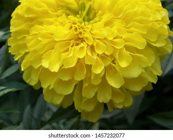 The plant of tagetes featuring asteraceae yellow gold spring. The botanical family of tagetes is asteraceae.