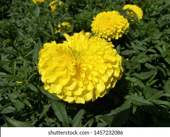 The plant of tagetes featuring asteraceae yellow gold petals. The botanical family of tagetes is asteraceae.