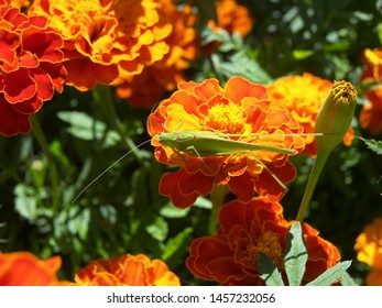 The plant of tagetes featuring patula flower asteraceae. The botanical family of tagetes is asteraceae.