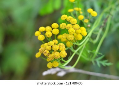 Plant of Tansy (Tanacetum vulgare, Common Tansy, Bitter Buttons, Cow Bitter, Mugwort, Golden Buttons)