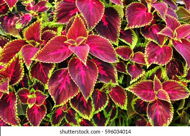 Plant texture structure leaves nature- Coleus Blumei