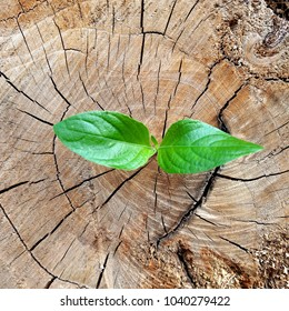 Plant that grow out of stumps