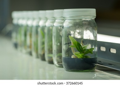 Plant tissue culture bottle in row