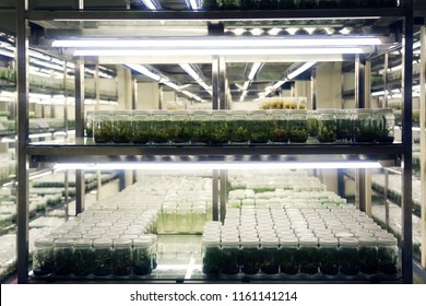 Plant tissue culture collection shelves in tissue culture room science laboratory. Techniques used to maintain or grow plant cells.