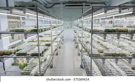plant tissue culture growing in a bottle on shelf in laboratory - botanic nursery