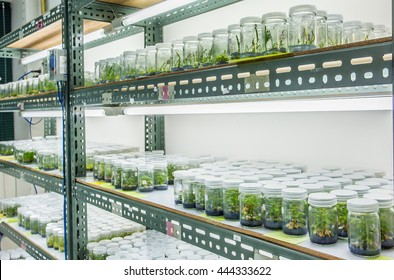 Plant tissue culture in the laboratory, lab tissue in university